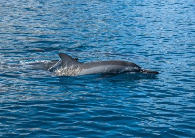 The Spinner Dolphin from Polynesia