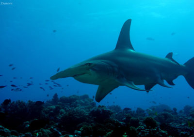 Hammerhead shark in Rangiroa with TOPDIVE -photo-C.Dumont