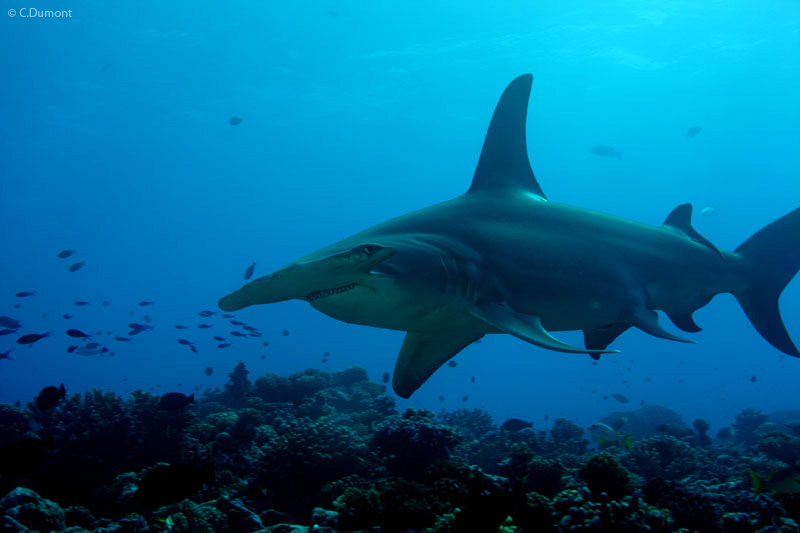 The Great Hammerhead Shark