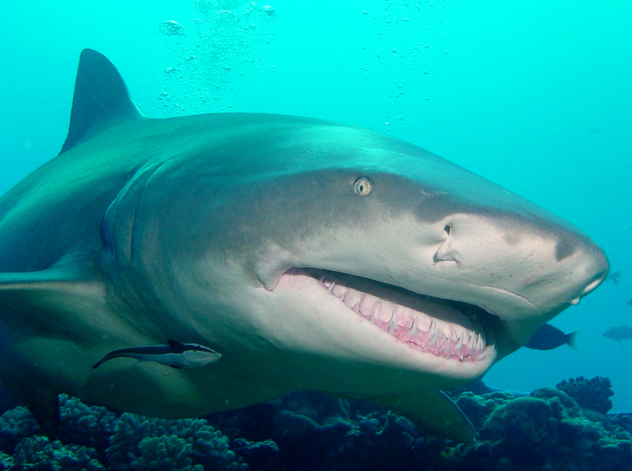 Lemon shark seen with Topdive