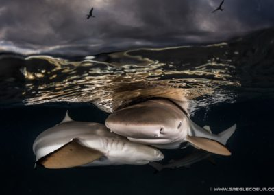 Black tip sharks - greglecoeur