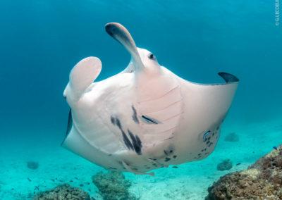 Manta ray in Bora Bora with Topdive