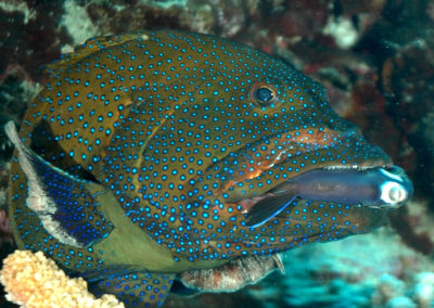 Grouper eating a fish in Moorea - Dive with Topdive Polynesia