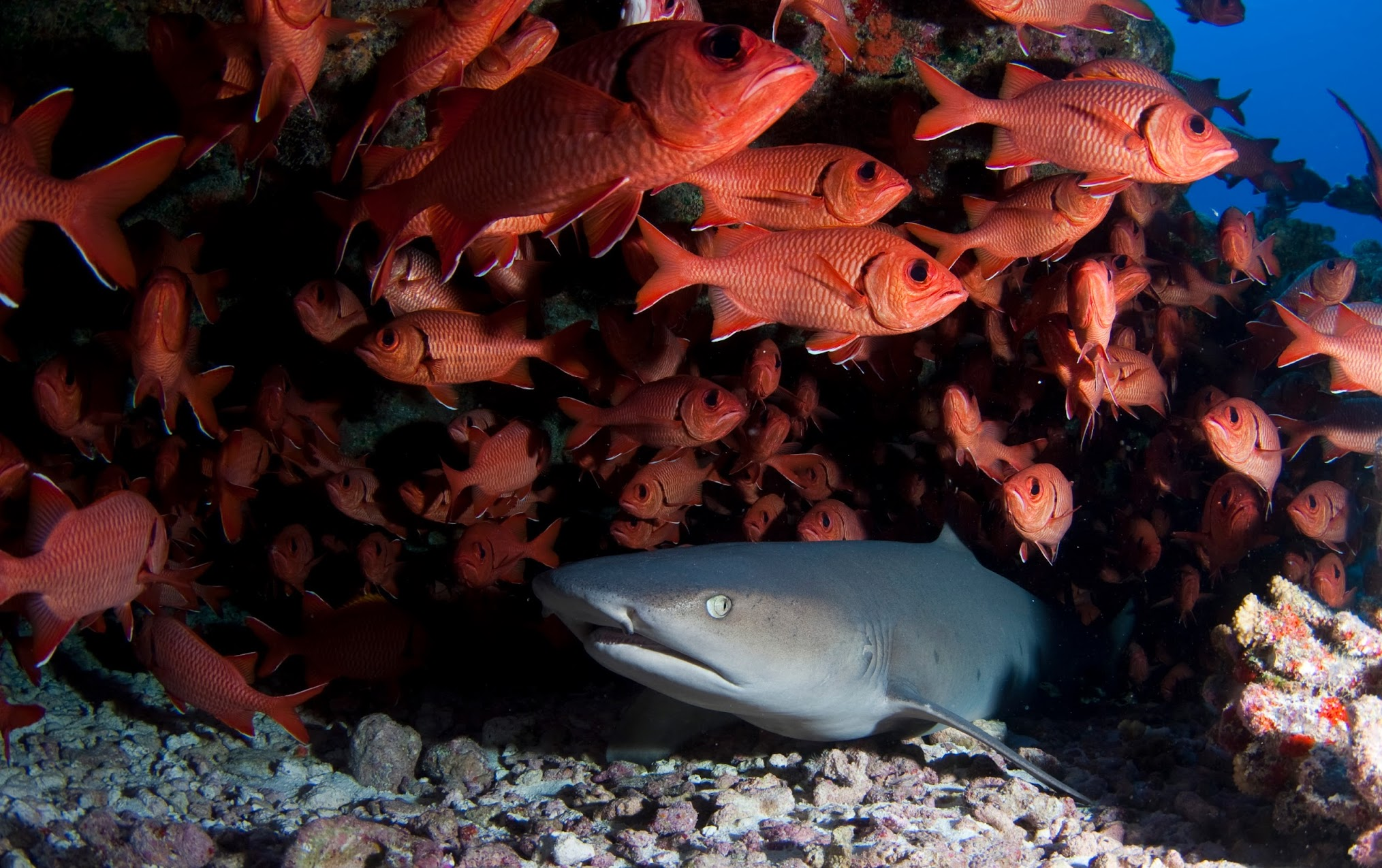 The white tip reef shark