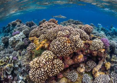 Polynesian coral reef beauty