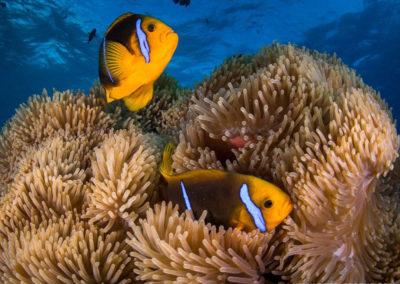 Clown fish and sea anemone