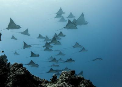 Manta rays - copyright-frederique-legrand.jpg