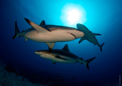 Sharks in Tahiti with Topdive