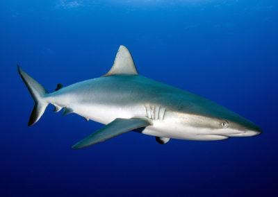 Tetiaroa - Grey shark - Topdive - Photo T-Kotouc