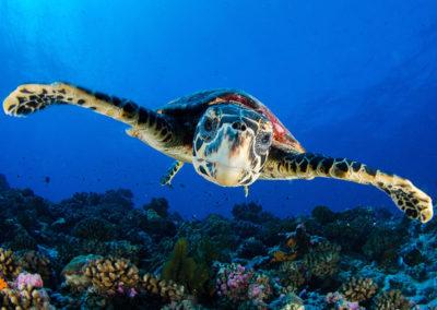 Tetiaroa-Turtle - Photo T.Kotouc