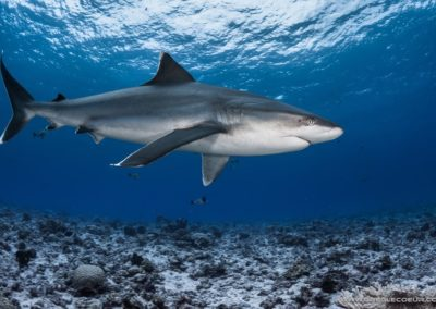 Tapete Shark - topdive