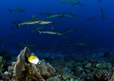 Requins de Fakarava - Topdive