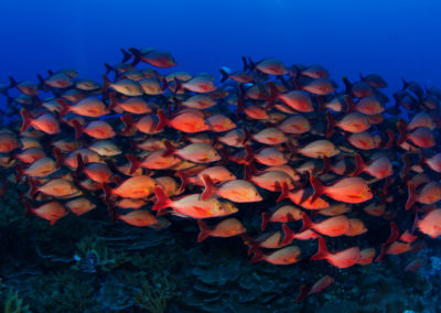Fakarava Sud, Shoal of red fishes - Topdive