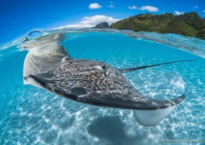 Pastenague ray in the lagoon - greglecoeur