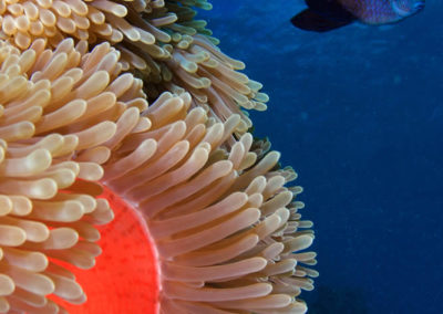 Aquarium of Tahiti, Anemone and fish - Topdive