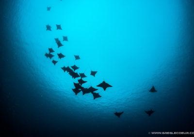 Shoal of Manta rays - Topdive Polynesia -copyrights greglecoeur