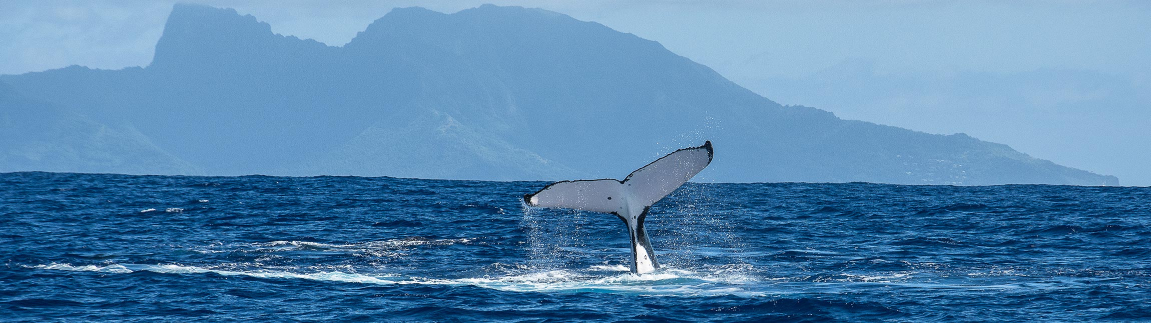 Humpback whale in front of Moorea