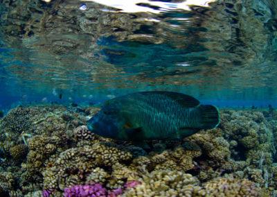 Napoleon fish seen in Fakarava