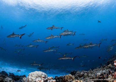 Grey shark wall South Fakarava