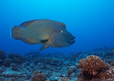 Napoleon fish, Fakarava, Dive with Topdive