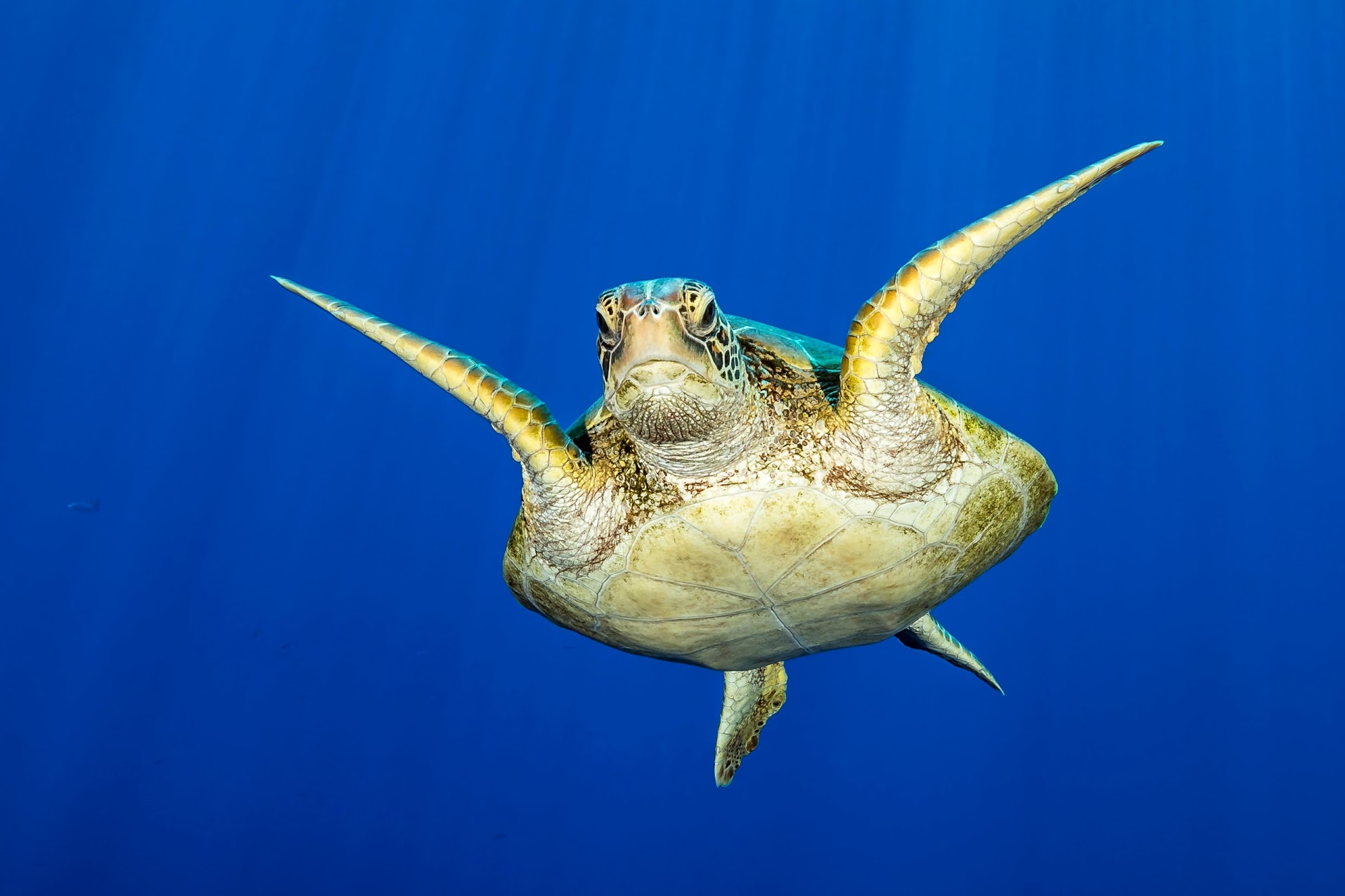 Marine turtle swimming into Taotoï pass in Moorea