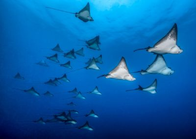 School of Eagle spotted rays in Moorea - Topdive