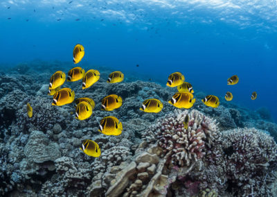 Yellow fishes - Topdive