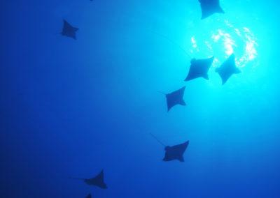 Manta rays - Topdive