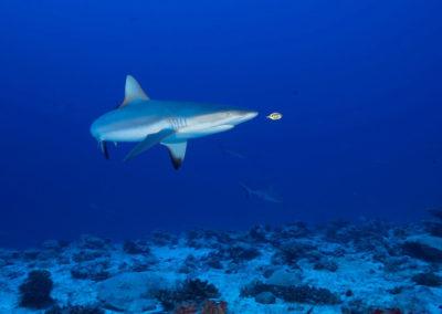 The Grey reef shark and Pilot fish © Eric Cheng
