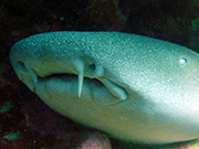 The barbel of the nurse shark