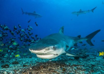Tiger shark at white valley in Tahiti - Topdive © Tobias FRIEDRICH