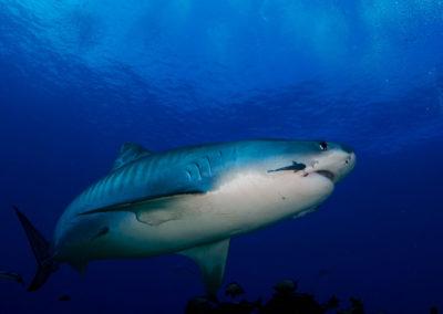 Tiger shark in Tahiti - Topdive