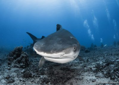 Tiger shark, White valley, Tahiti - Topdive © greglecoeur