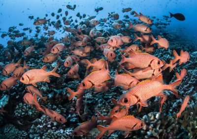 Red fishes - Garuae pass - North Fakarava