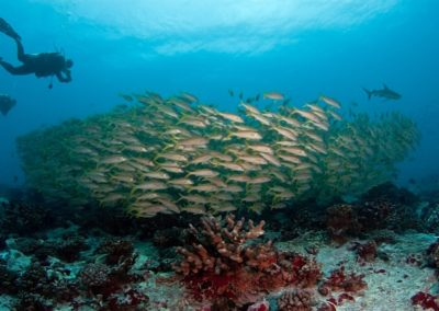 Red mulets in Tiputa with Topdive © Vincent TRUCHET - TOPDIVE