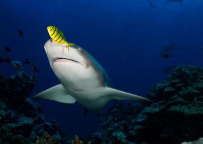 Tahiti, The white valley - Shark - Topdive