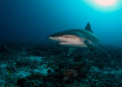 Tapete Shark seen while diving in Polynesia with Topdive