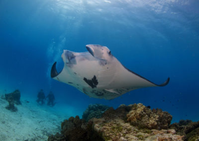 Tikehau - Observing a manta ray - Dive with Topdive
