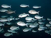 Shoal of Surgeonfish