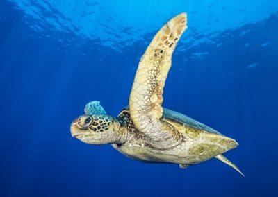 The Hawksbill turtle -Topdive © Tobias FRIEDRICH