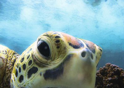 The Hawksbill turtle - Topdive Polynésie © V. Truchet