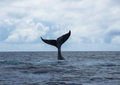 Humpback whale in Polynesia - Topdive