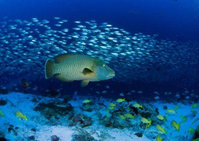 Napoleon fish - Topdive