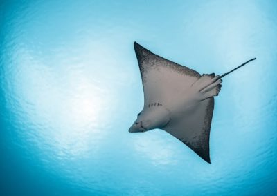 The spotted eagle ray - Dive with Topdive
