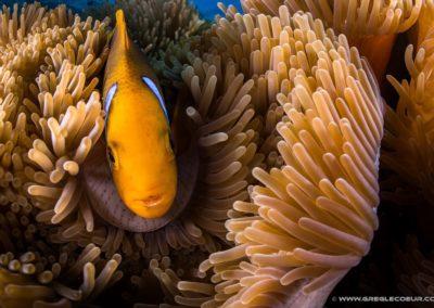 Le poisson clown de Polynésie en plongée avec Topdive