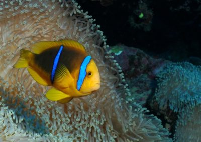 Poisson clown en Polynésie avec Topdive