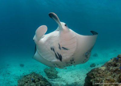 Manta ray - Topdive Rangiroa
