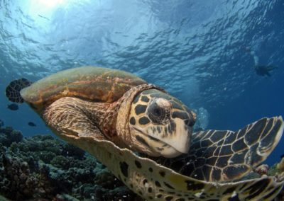 Turtle in Avatoru pass, Rangiroa - Topdive