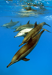 The spinner dolphin