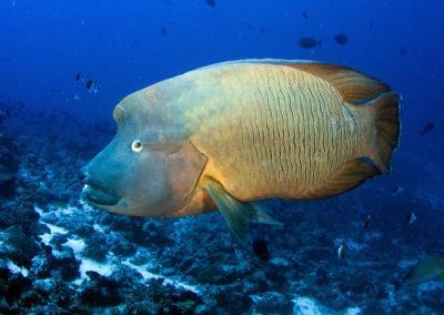 Tetiaroa - Napoleon fish- Topdive-T-Kotouc